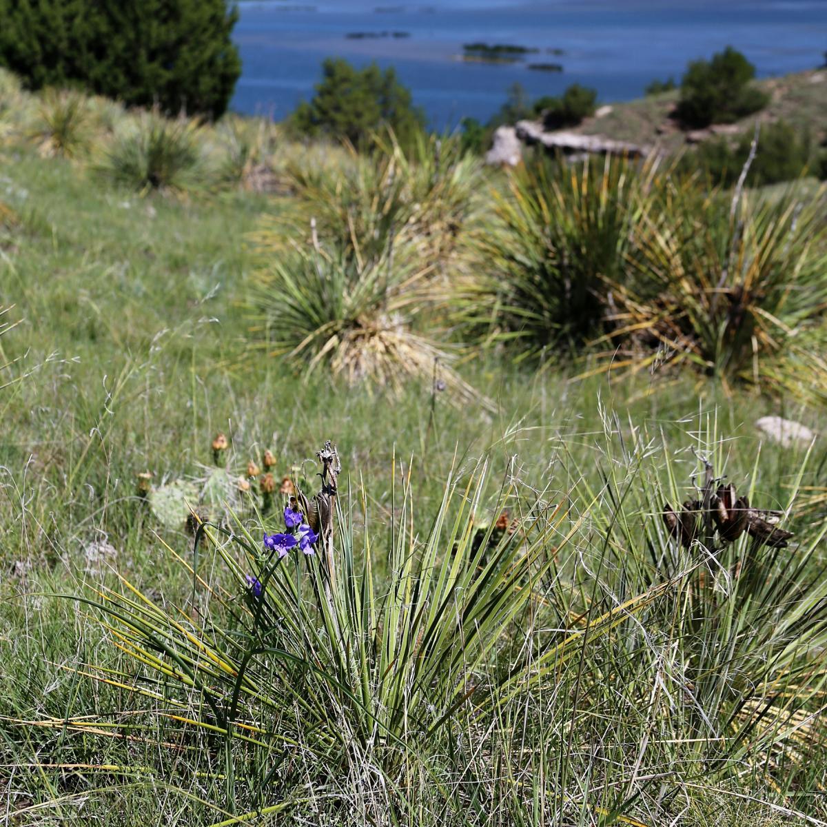Grassland with yucca